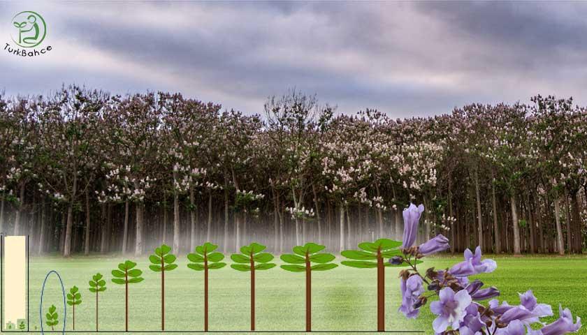 Paulownia ağacı
