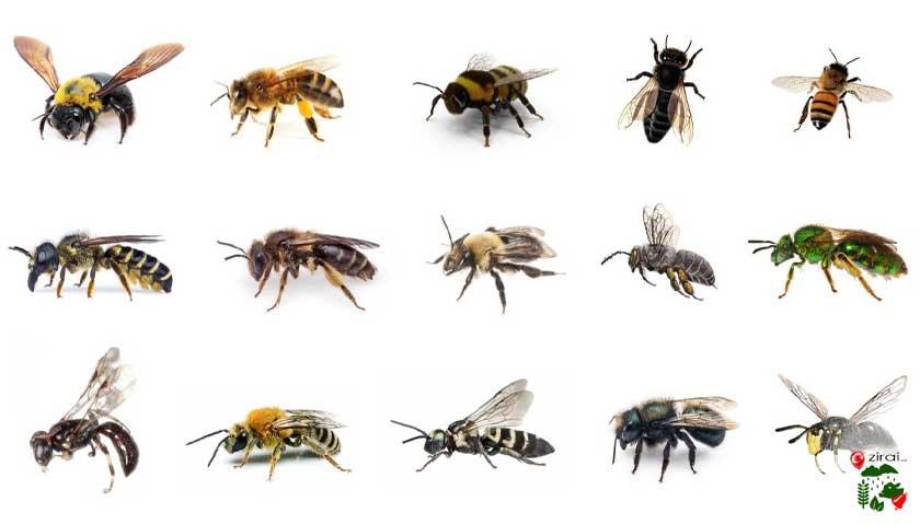 Arı ırkları