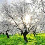 badem ağacı çiçekleri