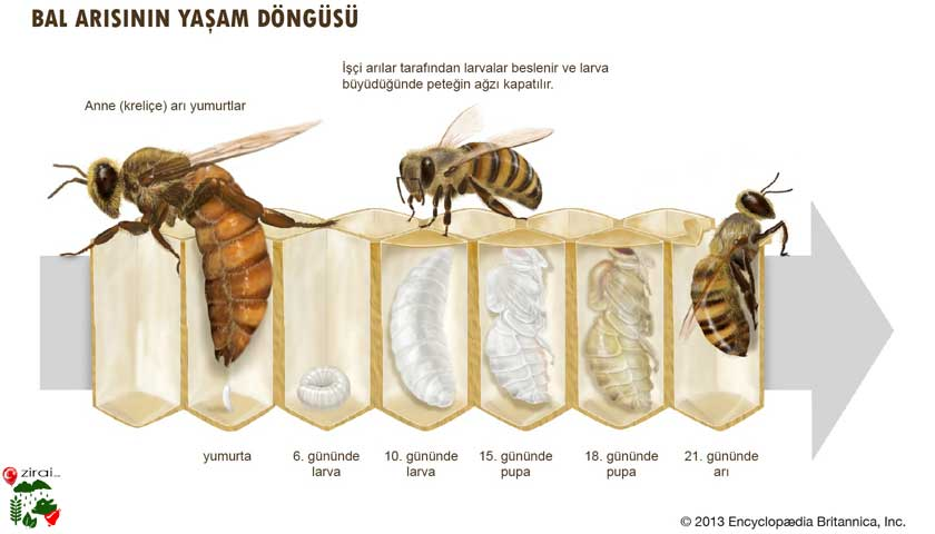 Bal arısı yaşam döngüsü