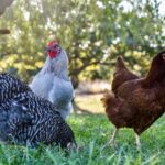 çeşitli tavuklar