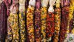 Türk hibrid mısır tohumu geliştirildi