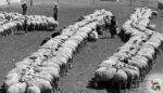 Koyun Sağımı