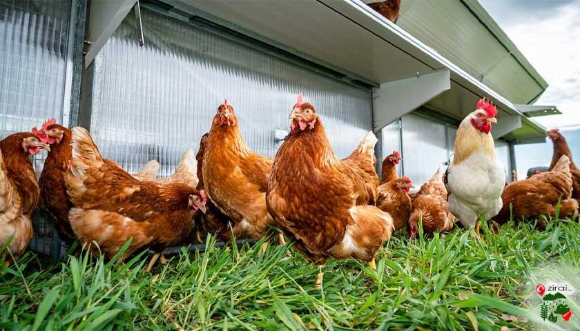Tavuk Bakımı