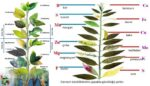 Bitki besin noksanlıkları, bitkilerde görülen arazlar