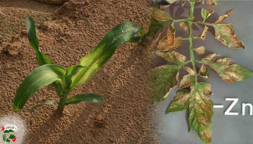 Bitki beslemede çinko