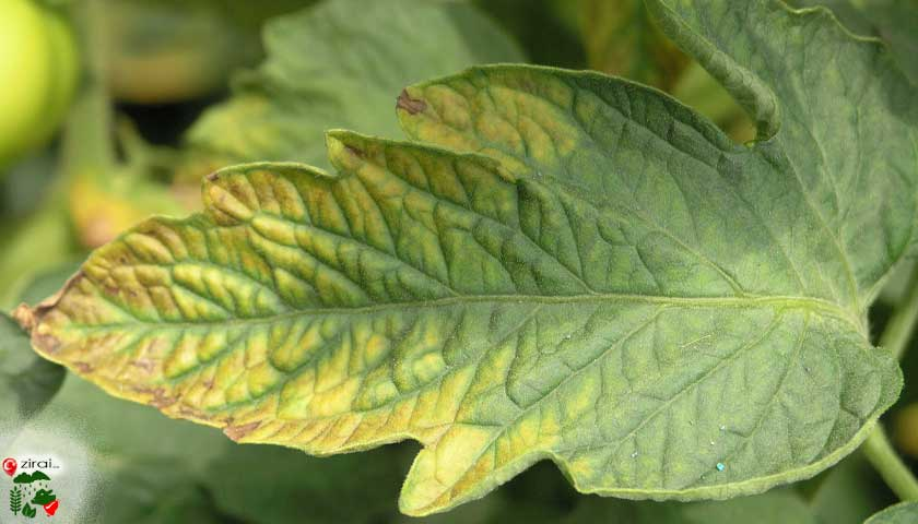 Bitkilerde potasyum eksikliği
