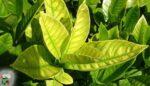 Bitkilerde azot eksikliği
