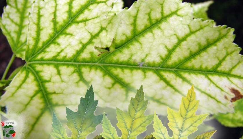 Bitkilerde demir eksikliği