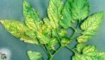 Bitkilerde magnezyum eksikliği