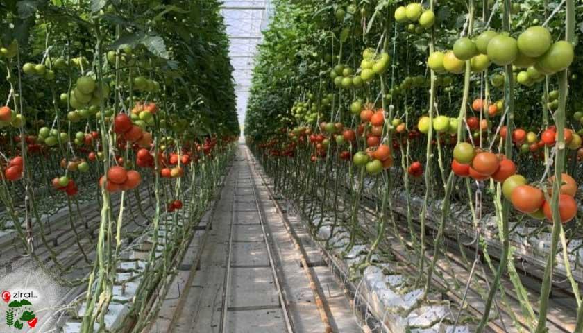 domates susuz tarım
