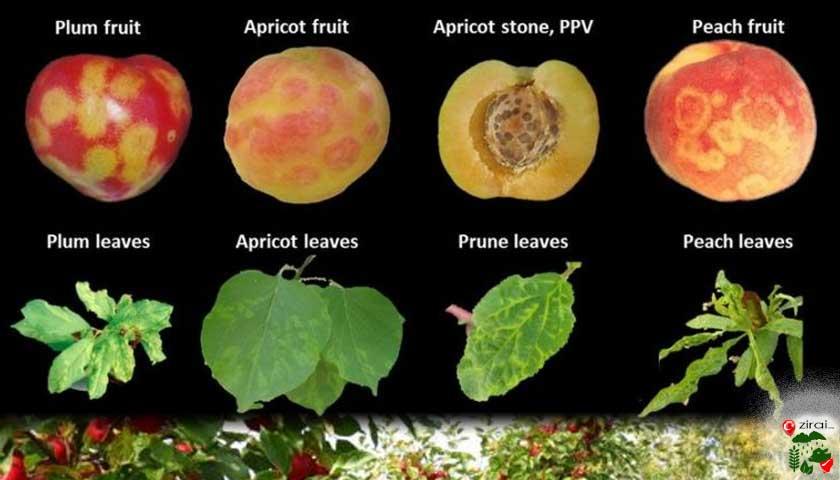 Meyve hastalıkları