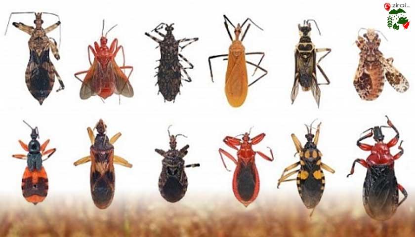 tarım zararlısı böcekler