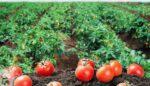Açık tarlada domates yetiştiriciliği