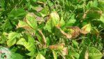 Bitkilerde çinko eksikliği